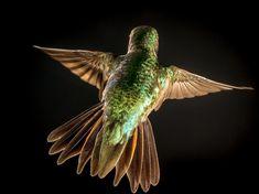 Broad-tailed Hummingbird | Audubon Field Guide