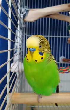 Mr. Poof, an excellent budgie