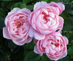 'The Alnwick Rose' (2001) David Austin rose | via Susan R