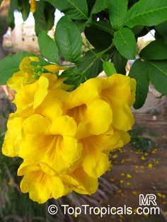 Tecoma stans, Bignonia stans, Yellow Elder, Yellow Bells  Click to see full-size image