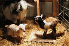 Antiquity Oaks: Kidding at 17 below zero, in winter, kid, how to, adorable, baby goats, does, bucks, herds, birthing process, what to do, when, if, pregnancy, pregnant, dangers of cold, weather, cold freezing, when