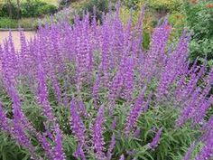 Mexican Bush Sage (DEER RESISTANT) -fast-growing native shrub to Mexico & Central America  -does well in Texas heat; hardy to 15 degrees F -height 2-4 ft; propagates through roots  -tiny purple & white flowers along projecting spears  -drought tolerant and pest resistant  -attracts butterflies and hummingbirds