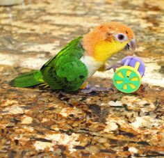 White Bellied Caique baby playing with his foot toy. http://www.mdbirdfarm.com/White_Bellied_Caique_p/white-bellied-caique.htm