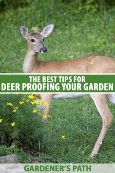 Battling deer set on destroying our work in the garden doesn't need to be as challenging as we might think. Approaching the situation with knowledge, the right game plan, and a good set of tools is the solution to preventing this frustrating pest. Read on to learn more about how to keep the deer away from your yard. #deerproofing #wildlifegarden #protectinggarden #gardenpests #gardenerspath