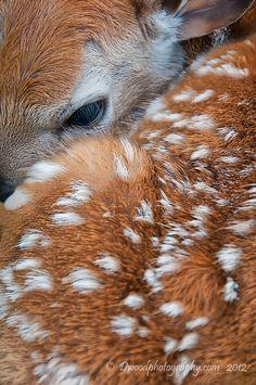 "Newborn Fawn Shenandoah National Park Photographer: Darren Barnes ""wild"""
