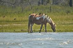 Chincoteague Pony and Friends