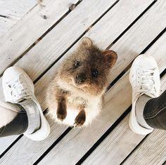 Cute Creatures, Beautiful Creatures, Animals Beautiful, Cute Little Animals, Cute Funny Animals, Quokka Animal, Australia Animals, Wombat, Happy Animals