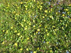 Bright yellow & blue spring day at Saaremaa garden Blue Springs, Spring Day, Bright Yellow, Countryside, Garden, Nature, Plants, Garten, Naturaleza