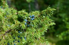Juniper Berry (Juniperus communis) Organic Essential Oil