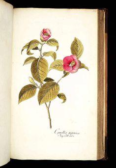 椿 ツバキ科 Camellia japonica L.  Jacquin, Icones plantarum rariorum, vol. 3 (1786-1793)