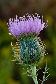 Thistle Scotland