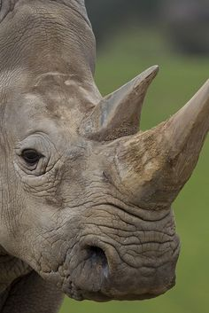 A record 668 rhinos were poached in S. Africa in 2012--a 50% increase over 2011. This epidemic MUST STOP. We don't want to imagine a world without rhinos. Please re-pin if you don't either.