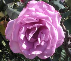 Lilac Rose, Flower Photography, Flowers, Roses