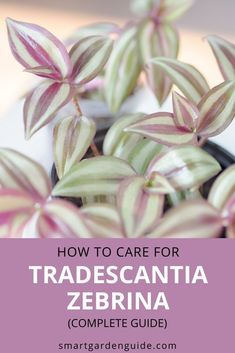 Learn everything you need to know to grow a healthy Tradescantia zebrina houseplant. I cover all aspects of care to help you keep your Wandering Jew plant happy, as well as showing you how to deal with common problems. Easy Care Indoor Plants, Indoor Flowering Plants, Blooming Plants, Outdoor Plants, Wandering Jew, Smart Garden, Pot Plants, House Plant Care, Garden Guide