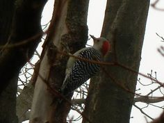 Red-bellied Woodpecker - Dec. 2, 2012 (not the first sighting of the year by any means, but a nice view in our maple tree)