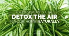 26 House Plants That Detox The Air In Your Home Naturally http://holistichealthnaturally.com/26-house-plants-that-detox-the-air-in-your-home-naturally/