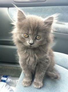Cute grey kitten #cute #adorable #kittens #cats