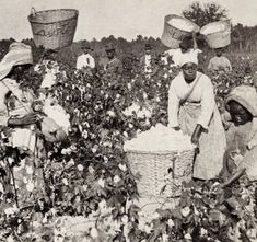 African American women working in cotton fields, date unknown