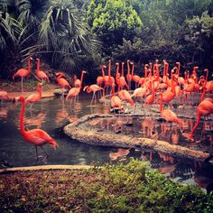 A Myriad of Birds . Artist Residency and Solo Exhibition with Masterworks in Bermuda. Day 7 . We visit The Bermuda Aquarium Museum and Zoo (BAMZ) with a new friend called Miguel. He gives us the best tour! Here are the flamingos. They are beautiful but smell horribly!