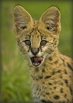 Baby Serval - Sooo Curious