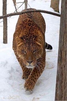 A Jagalion.. Male Jaguar and female lion - big cat #cat #bigcat #jagalion Lynx, Female Lion, Predator, Big Cats, Animal Kingdom, Jaguar, Beast, Beautiful Pictures, Wildlife