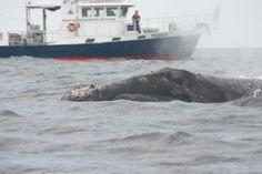 right whale, Tioga, WHOI