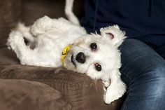 Coconut laying on a couch - Rescue dog (ASPCA). What a cute little pooch!