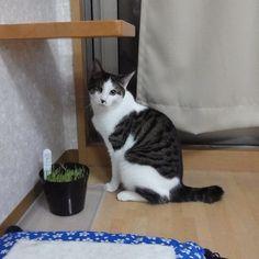 しぃくんは猫草抜いてあげないと食べないタイプ - @makoccchan- #webstagram