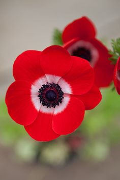 Spring bulbs - Anemone coronaria De Caen. The bold colours of this anemone are absolutely fabulous! A must have in the spring garden. Photo by Marsha Arnold.