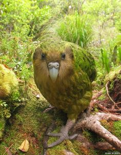 The New Zealand kakapo, a flightless, nocturnal bird that is the heaviest of all parrots.