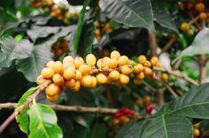 Coffee Cherries |1-888-377-6777 | www.fundraisingcoffee.com