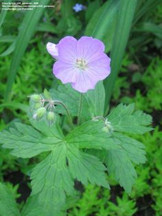 View picture of Wild Geranium, Spotted Geranium (Geranium maculatum) at Dave's Garden.  All pictures are contributed by our community.