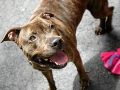 """SAFE!!!    Manhattan Center GALLY A0965267 FEMALE BRINDLE PIT MIX 4yrs Gally has been described by volunteers as mellow kind & lovely. Easy going she as surrendered b/c her owners had """"no time"""" for her. Ironically, Gally is not demanding but easily amuses herself in her kennel or goes happy for a walk she is low maintenance! PLS share this lovely brindle for a home of her own. https://www.facebook.com/photo.php?fbid=612371798775703=a.617938651552351.1073741868.152876678058553=3"""