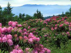 Rhododendrons - North Carolina mountains
