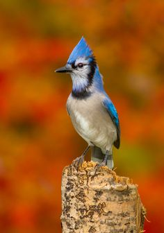 Blue Jay in Autumn by Bill McMullen Kinds Of Birds, Love Birds, Beautiful Birds, Pretty Birds, Province Du Canada, Pilgrims And Indians, Cut Animals, Funny Animals, Fly Around The World