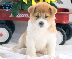 Teddy Bear   Shiba Inu Puppy For Sale   Keystone Puppies Baby Puppies For Sale, New Puppy, Shiba Inu, Cute Babies, Corgi, Teddy Bear, Foods, Homemade