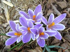 There'll be crocuses to bring to school tomorrow