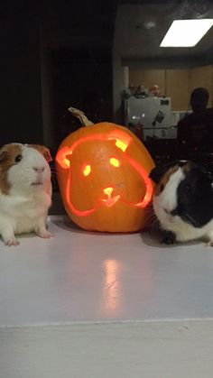 Guinea pig pumpkin carving for Halloween with furry friends