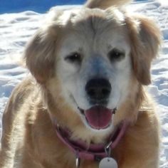 Dogs Available For Adoption at the Delaware Valley Golden Retriever Rescue. Just love those seniors!
