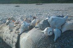 Shells @ Botany Bay on Edisto Island