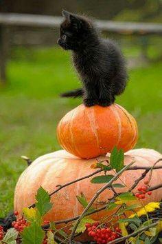 Halloween Black KItten sitting on Pumpkins cat autumn fall kitty pumpkins black cat Kittens Cutest, Cats And Kittens, Cute Cats, Funny Cats, Ragdoll Kittens, Tabby Cats, Bengal Cats, White Kittens, Grumpy Cats