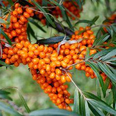 Sea Buckthorn. Edible, medicinal. Small tree.