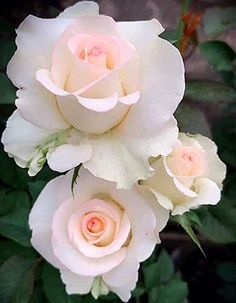 Beautiful Rose Flowers, Beautiful Flowers Wallpapers, Beautiful Flower Arrangements, Exotic Flowers, Amazing Flowers, Pretty Flowers, Beautiful Gardens, Flower Images, Flower Photos