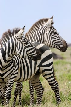 Join Photographer David Saffir and Infinite Kayak Adventures: Photo Safari, Africa Feb 2011 Animals Of The World, Animals And Pets, Cute Animals, Wild Animals, Zebra Pictures, Animal Pictures, Crazy Pictures, Amazing Pictures, Zebras