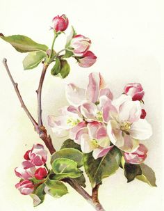 Botanicals - Broken Books Antique Prints Apple Blossom Ethel Nesbit 1896