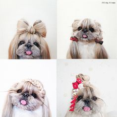 Don't miss out on meeting Kuma, she's cuter than most kids I know. Half Pekinese, half Shih Tzu and with hair styles to die for at http://www.ifitshipitshere.com/kuma/