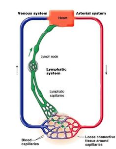 Diagram of lymph nodes google search a passion for teaching lymphatic system more ccuart Gallery