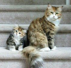 best images and pictures ideas about raga muffin cat - most affectionate cat breeds