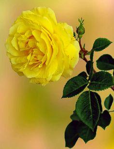 IMGP9317- Tinka yellow rose ! 法国 鲜花 玫瑰 颜色 图像 明信片 꽃 장미 연분홍 ピンク 粉红色 玫瑰花 핑크
