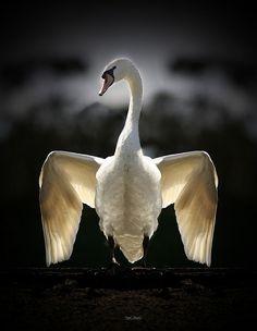 Perfect - Swan - 2010 - Daniel Gonzalez photography - http://www.lamiradamagica.com/ - - https://www.flickr.com/photos/daniel_gonzalez/4413820641/